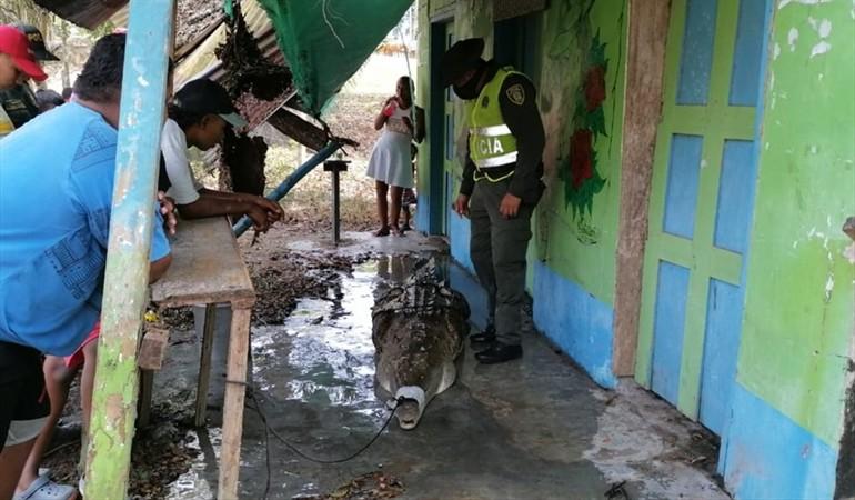 Autoridades rescataron a caimán que atemorizaba a la comunidad de Cimitarra, Santander