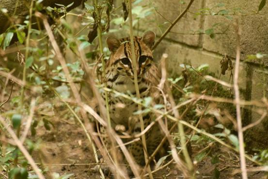Tras ser liberado, entidades rastrean felino con tecnología satelital